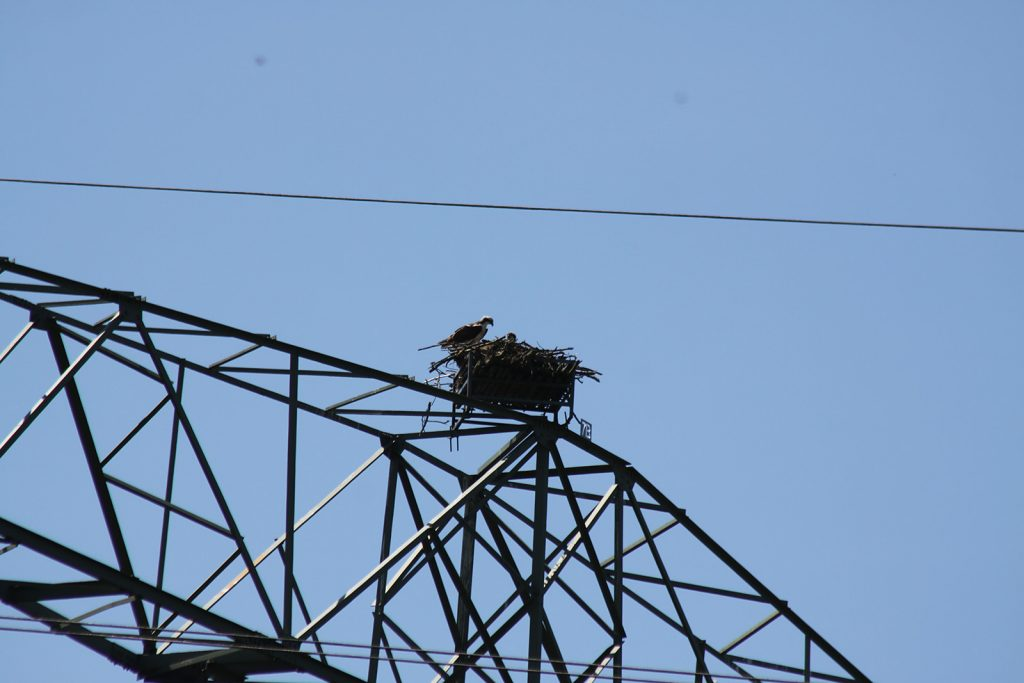 Nachwuchs im Fischadler-Nest