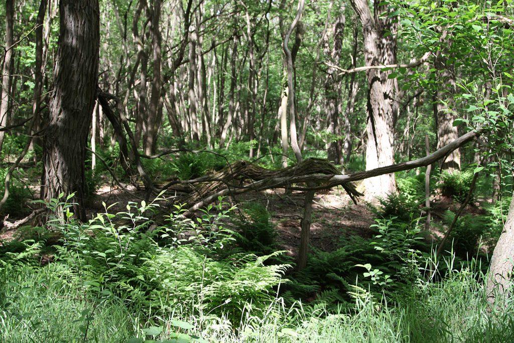 Der verwilderte Mischwald