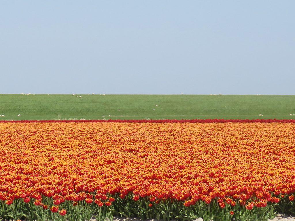 Tulpenfelder hinter dem Deich zum Wattenmeer
